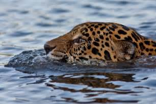 Jaguars Scientific Name Panthera Onca Jaguar Swimming Across River 4996 C Greg