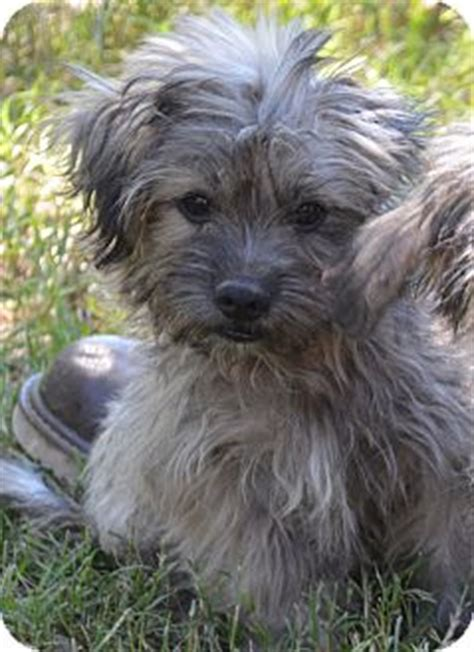 havanese puppies in ct sammy pending adopted puppy westport ct havanese poodle miniature mix
