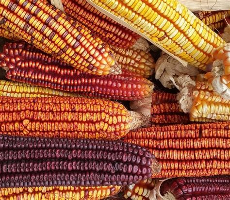 colors of corn colors of corn color scheme 187 image 187 schemecolor