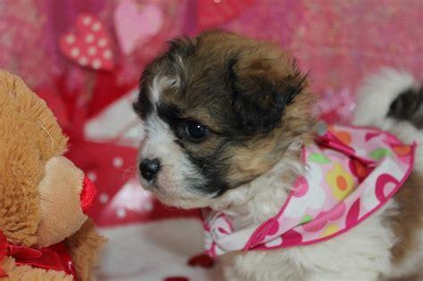mini teddy puppies heartfelt teddy puppies