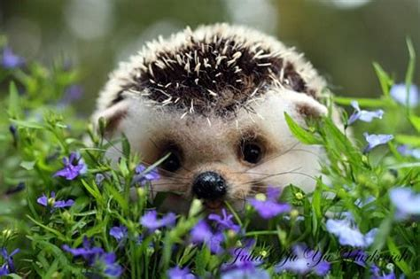 cute baby hedgehog smiling my cousin has a pet hedgehog it s the cutest thing