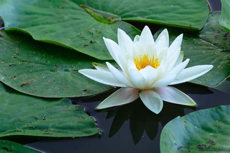Tanaman Air Teratai jual pohon teratai bunga air tanaman air jual