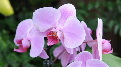 getting orchids to bloom again gardener s supply
