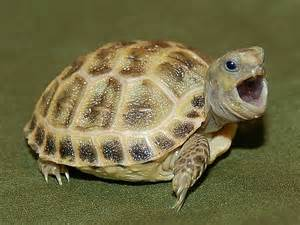Well Started Hatchlings and Juveniles for sale from The Turtle Source