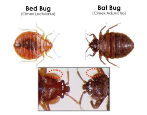 difference between fleas and bed bugs flea vs bed bug 28 images bed bugs fleas difference