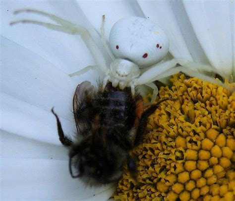 eats bee crab spider eats bee what s that bug