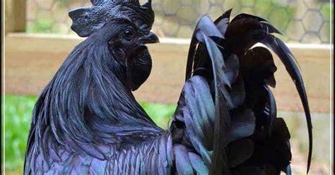 Harga Bibit Ayam Cemani Asli kisaran harga ayam cemani asli ayam hitam unik dari kedu