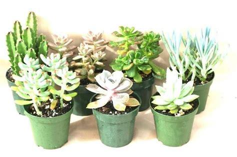 piante grasse da vaso piante grasse da esterno piante grasse