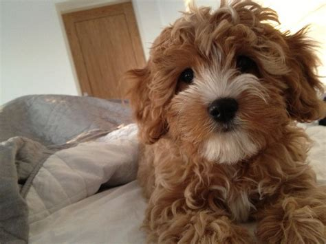 cavapoo puppies 42 best images about cavapoos on duke and cavapoo puppies