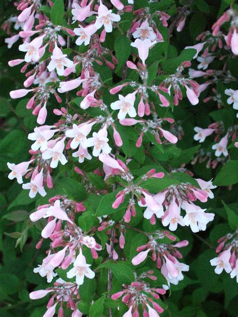 early pink flowering shrubs the most beautiful flowering shrubs