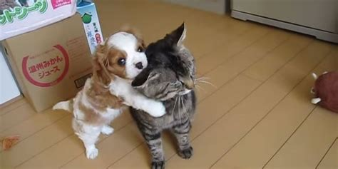 cat attacks puppy attacks world s most patient cat huffpost uk