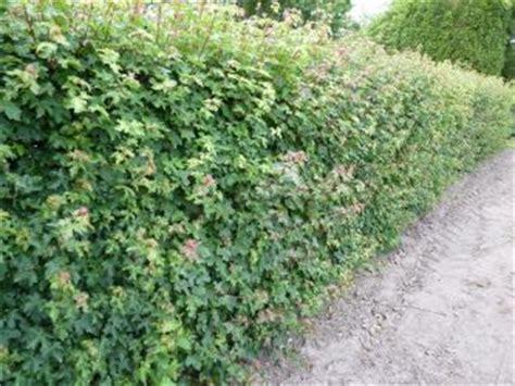 feldahorn als hecke heckenpflanzen kaufen wildgeh 246 lzpflanzen