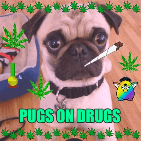 pugs and drugs pugs and drugs gifs find on giphy