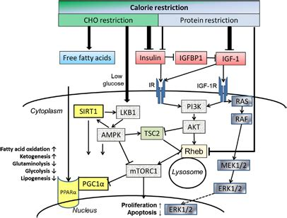 igf 1 carbohydrates insulin igf 1 signaling network and its modulation by