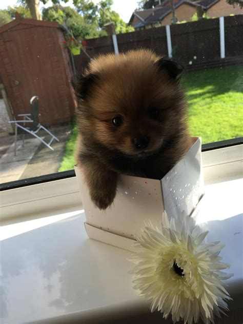 tiny pomeranian for sale tiny pomeranian puppy for sale lancashire pets4homes