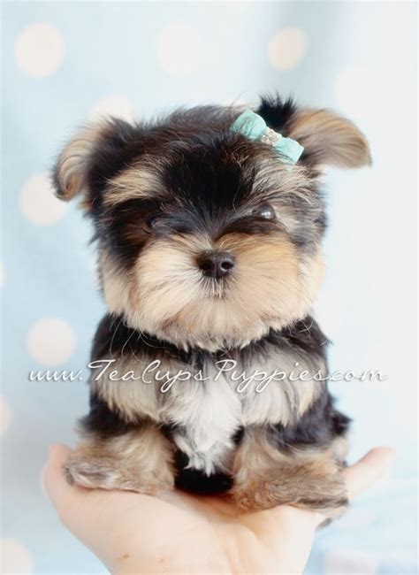 teacup yorkies for sell teacup yorkies for sale near me