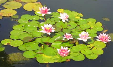imagenes de flores acuaticas planta acu 225 tica wikipedia la enciclopedia libre