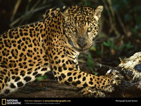 images jaguar jaguar national geographic wallpaper 9042086 fanpop