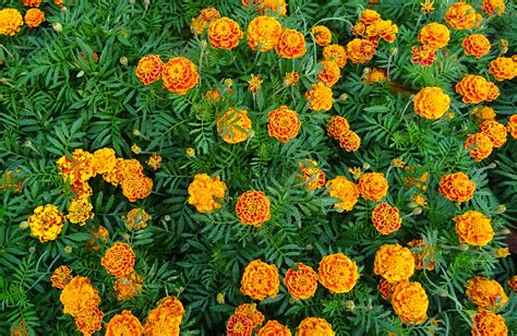 Marigolds Shade by