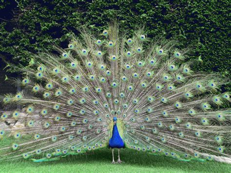 Outdoor Home Design Online by Entire Village Hunting For Killer Of Favourite Peacock