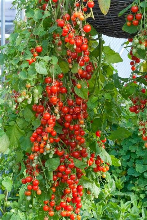 climbing tomato plants buy wholesale tomatoes pots from china tomatoes