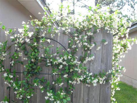 piante da giardino molto profumate piante ricanti profumate ricanti ricanti per