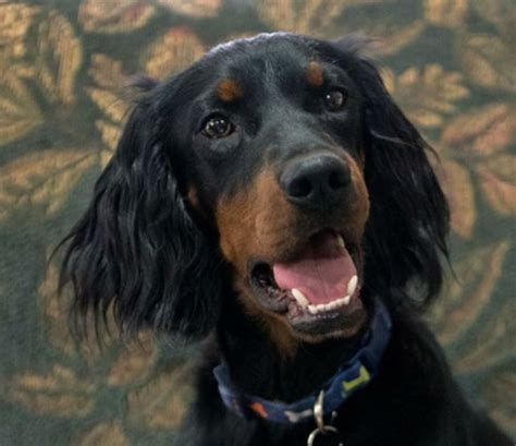 gordon setter dog rescue pin by kristin on save a life rescue me pinterest