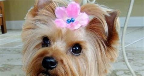 yorkie puppy behavior temperament and personality of terrier many