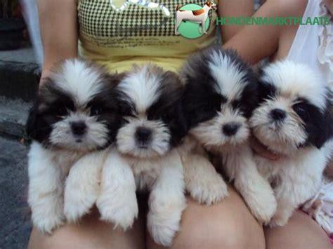 multi shih tzu puppies shih tzu puppies honden