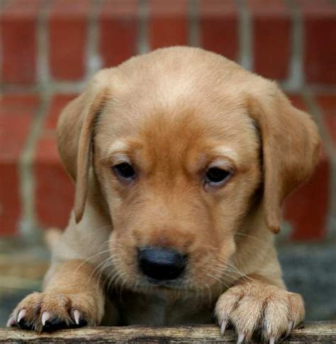 getting puppies getting a labrador puppy advice tips and information