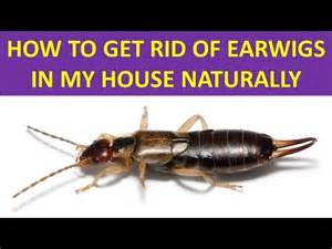 how to get rid of earwigs in my house naturally