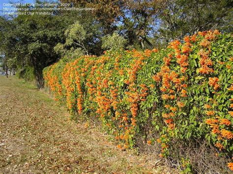 Pictures Of Golden Showers by Plantfiles Pictures Vine Golden Shower Orange