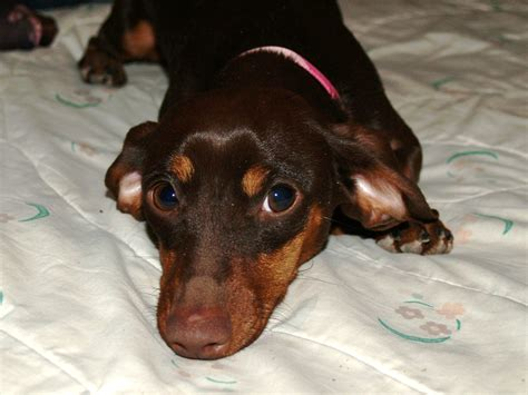 Adopted – New Mexico Dachshund Rescue