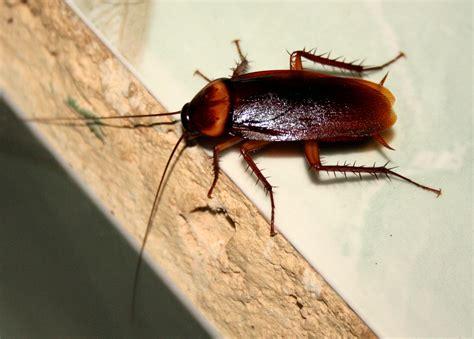 scarafaggi volanti in casa blatte blatte fortissimamente blatte foto 1 di 1