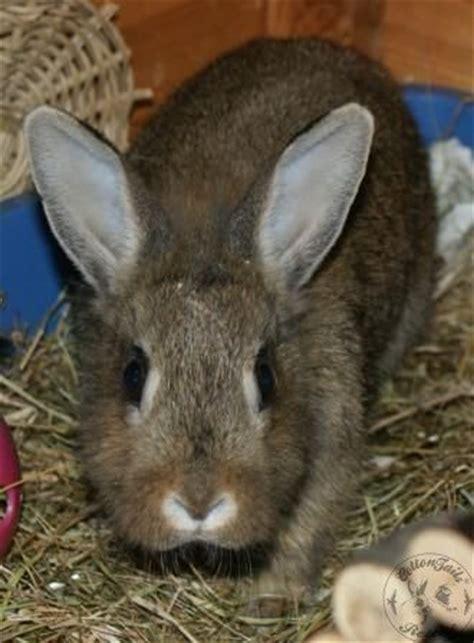 aggressive rescue aggressive rabbits how to cope cottontails rabbit guinea pig rescuecottontails