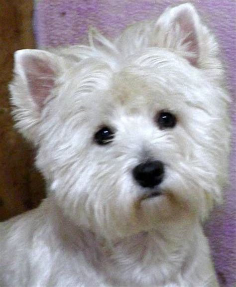 westie puppies for sale in michigan 1000 idee 235 n westie puppies for sale op westie s west highland en