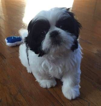 9 week shih tzu the cutest shih tzu photo gallery