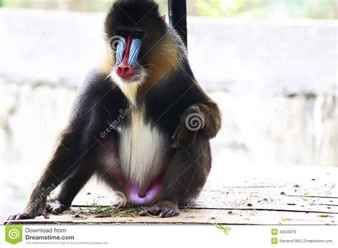 mandrill stock image image  baboon penis nature
