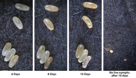 What Do Bed Bug Eggs Look Like Pictures