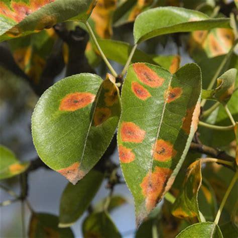 pear tree diseases tree disease and diagnosis