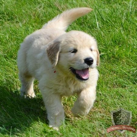 golden retriever puppies dfw 1000 images about pups on pets smiling dogs and so