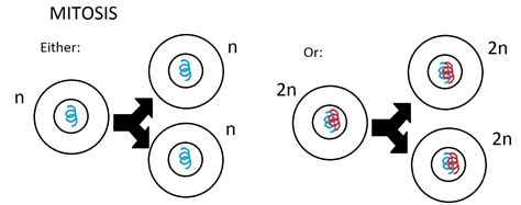mitosis diagram mitosis diagram drawing images how to guide and refrence