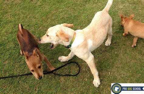 play biting puppy play biting pro school