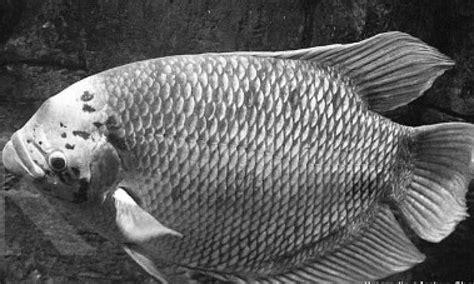 Benih Ikan Gurame Di Lung budidaya ikan gurami soang ciamis merosot harapan