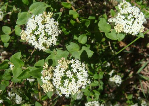 shrub with small white flowers in oatley park december blooms 171 oatley flora fauna