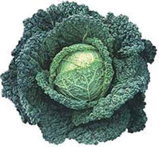 come cucinare verza rossa ricetta fotografata verza rossa spadellata