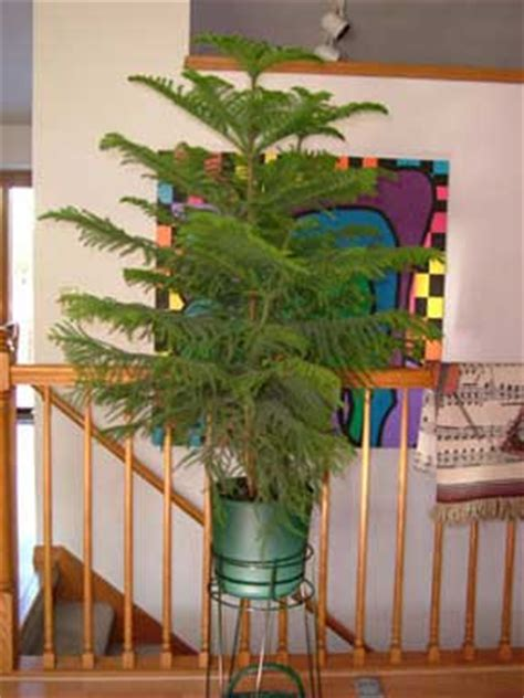 care  norfolk island pine araucaria