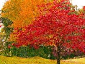 orange fall trees orange and red fall tree leaves fall foliage pinterest