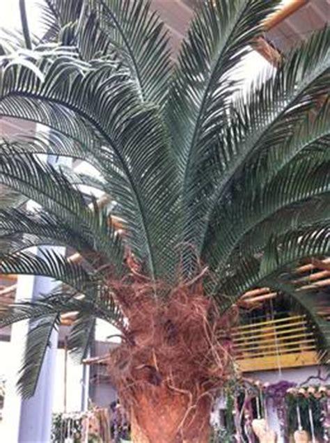 kunstpalme aussenbereich kunstpflanzen mit uv beschichtung