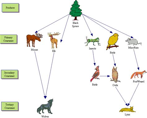 forest food chain diagram taiga forest food web
